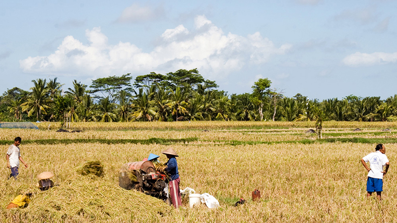 From Season of Rice - Harvesting, Bali
