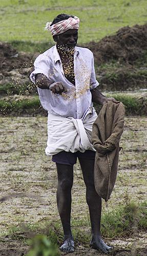 From Season of Rice - Fertilizing the Fields, Kerala - Southern India