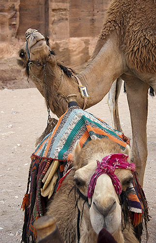 Camel with an Itch