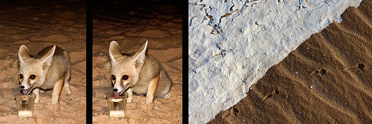 The Desert Fox, A Night Visit and Morning Tracks