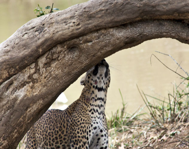 Female Leopard 4