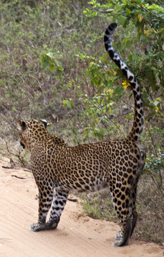 Female Leopard 5